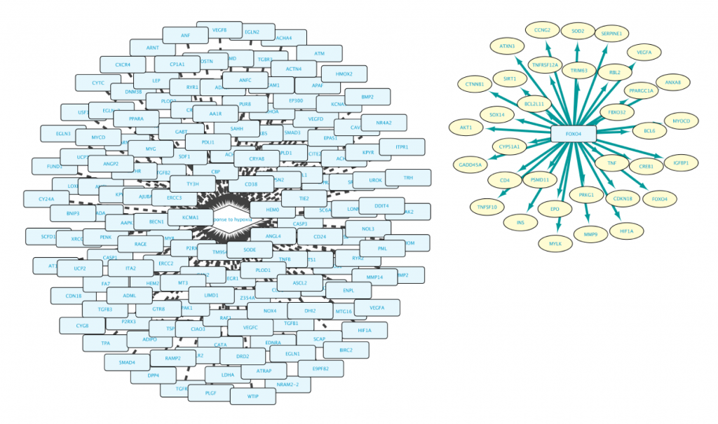 "Figure 4: the network that results from the ""Example 1a"" query, showing two sub networks: all proteins annotated with ontology term 'response to hypoxia'  (the central hub, left network), and all genes regulated by transcription factor FOXO3 (the network on the right)"